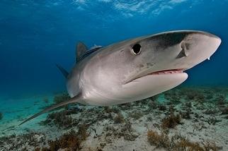 巨大的鼬鯊會吃你家後院的小鳥?