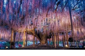 《絕世瞬間》紫藤奇景
