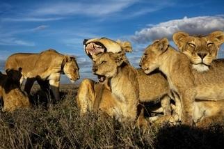在現實生活中,主導獅群的應該是辛巴的媽媽