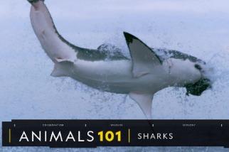 101動物教室:鯊魚