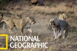真實的「獅子王」可一點都不好過……