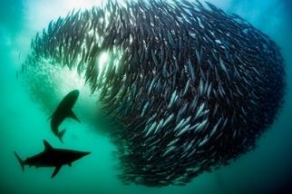 沙丁魚自助餐