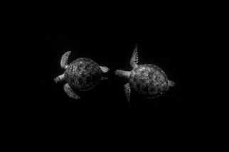 追逐同類的綠蠵龜