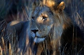 卡拉哈裏獅