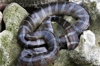 【老杜聊海蛇】那年我試吃了我的海蛇樣本