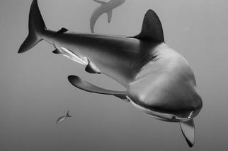 扭身游來的鐮狀真鯊