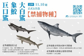 巨口鯊、大白鯊、象鮫正式禁捕 象鮫族群趨勢止跌無力 列優先保育