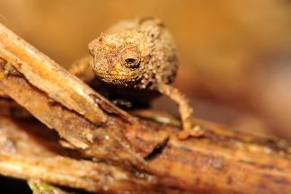 新種「小不點」變色龍可能是世上最小的爬行動物