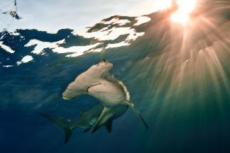 遠洋鯊魚和魟魚族群在半世紀內減少了近 70%