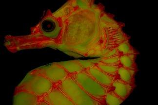 果凍般的「明膠」能助骨骼攝影一臂之力!
