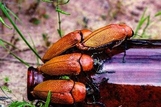 錯愛啤酒瓶的甲蟲