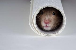 捲筒裡的倉鼠