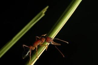 印度一種螞蟻的腦部能萎縮又再生!