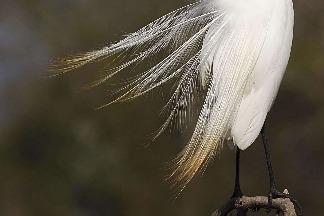 梳羽中的大白鷺