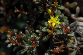 高山深谷得天獨厚 以太魯閣地名為名的植物 近90%成是臺灣特有種