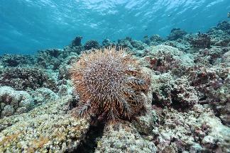 棘冠海星大爆發 使太平島海底90%珊瑚礁死亡 學者:未見過如此慘狀