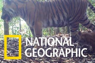 影片證實,稀有的蘇門答臘虎能在保護區內健康繁衍