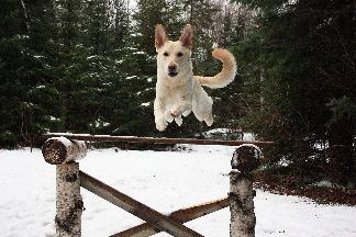 愛跳躍的狗兒