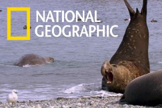 象海豹「海灘主」與牠的後宮佳麗