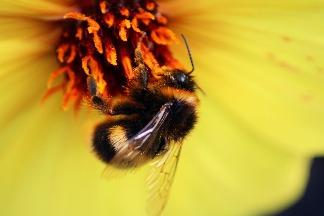 再忙也要喝一杯? 研究發現咖啡因有助熊蜂授粉效率