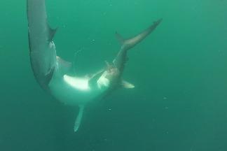 雙髻鯊上鉤,卻成為虎鯊的晚餐