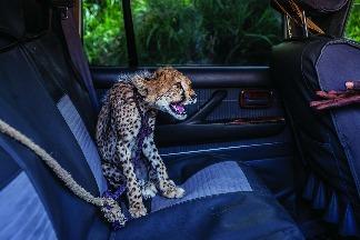 待價而沽的獵豹