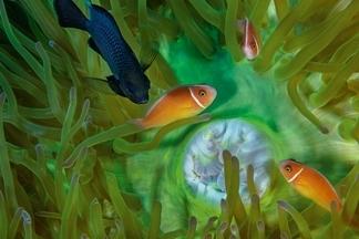 巴布新幾內亞:三斑圓雀鯛