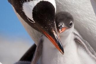 關愛的企鵝媽媽
