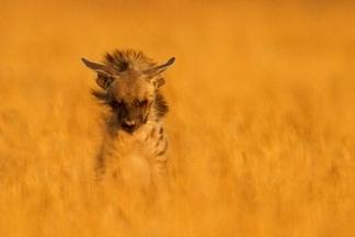 鬣狗,印度