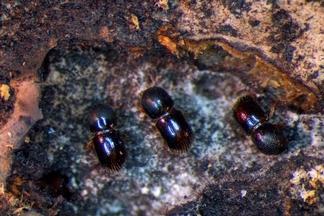 什麼!有甲蟲竟然用「酒漬」樹木來種植食物?