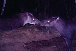 新種貘:本世紀發現的最大哺乳動物之一
