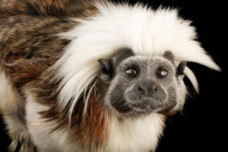 研究指出猴子會說悄悄話,但有這個需要嗎?
