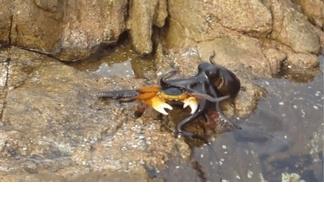 影片:章魚偷襲螃蟹