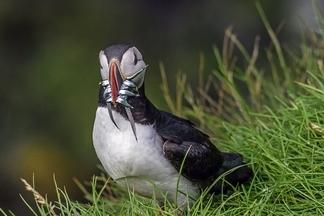 北極海鸚:滿載而歸