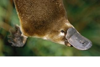 【動物好朋友】鴨嘴獸(Platypus)