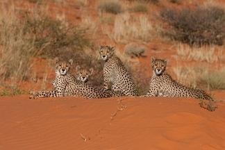 獵豹,喀拉哈里沙漠