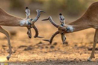 只拍高角羚