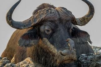 為一隻水牛感到同情