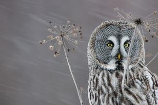 傲立風雪:芬蘭烏林鴞