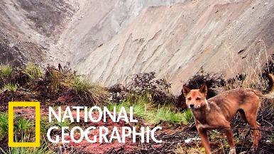 曾被認為絕跡! 紐幾內亞高地野犬再現蹤