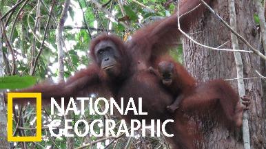 婆羅洲紅毛猩猩的生存狀況令人擔憂