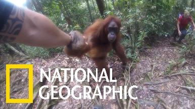 印尼叢林中的「黏人」紅毛猩猩