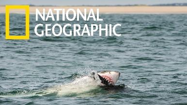 大師為了拍攝大白鯊,連「假海豹」都用上了!