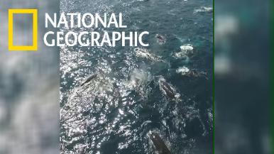 南非外海的座頭鯨「大會師」