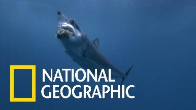 過慢動作細看尖吻鯖鯊攻擊的瞬間