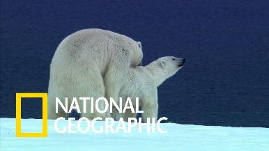 春天到了,公北極熊都在想些什麼呢?