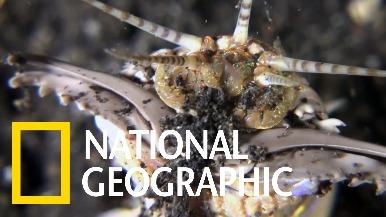 靜待獵物上門的海底刺客:博比特蟲
