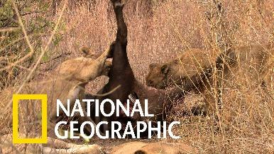 這支罕見的影片改變了我們對獅子的看法