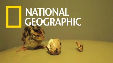 超市買的蛋竟能孵出活跳跳的小鵪鶉?