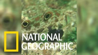 你看過會學螃蟹的鰕虎魚嗎?